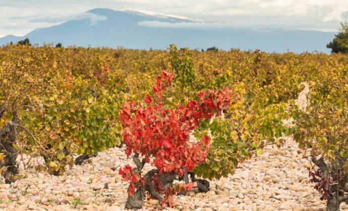 Vinos y viñedos del vallee del Rodano